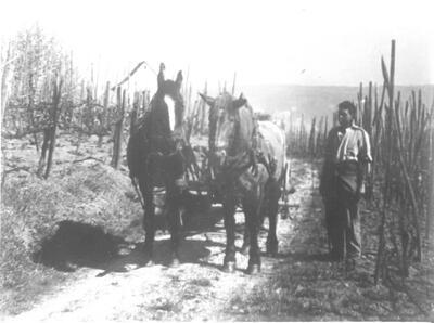 Im  Rebberg, Pferdegespann mit Rebbauer