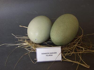 Sisakos kazuár tojásai