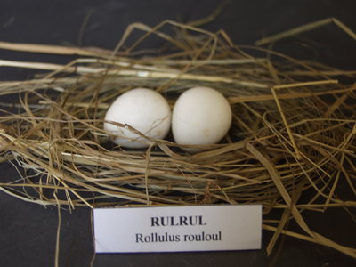 Rulrul tojásai