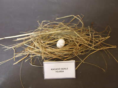 Kacagó gerle tojása