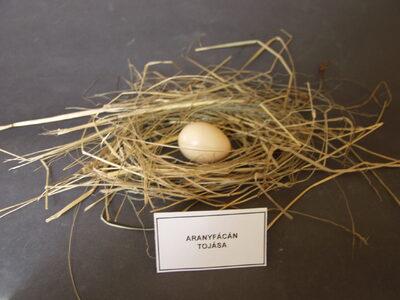 Aranyfácán tojása