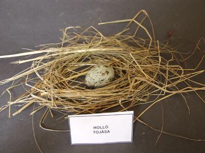 Holló tojása