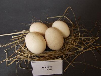 Kék páva tojásai