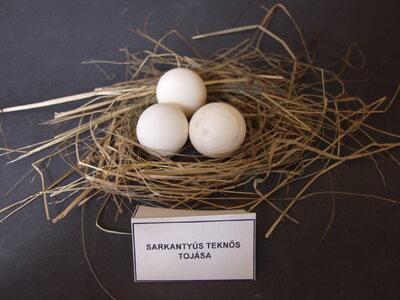Sarkantyús teknős tojásai