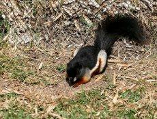 Ázsiai háromszínű mókus