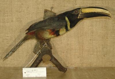 Pteroglossus pluricinctus