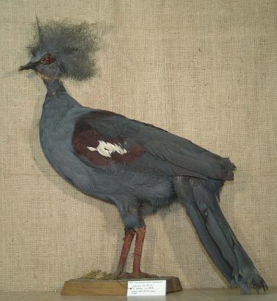 Goura coronata