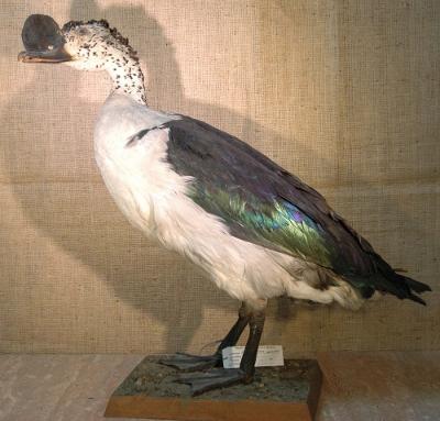 Sarkidiornis melanotos