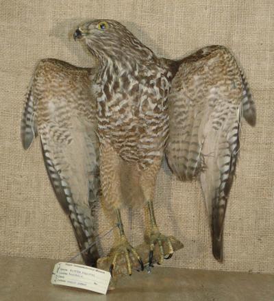 Accipiter fasciatus