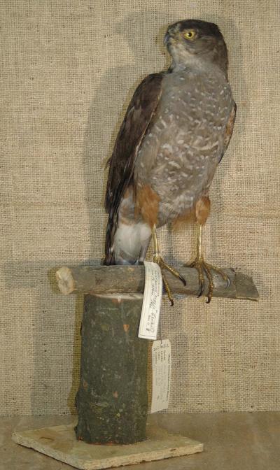 Accipiter bicolor