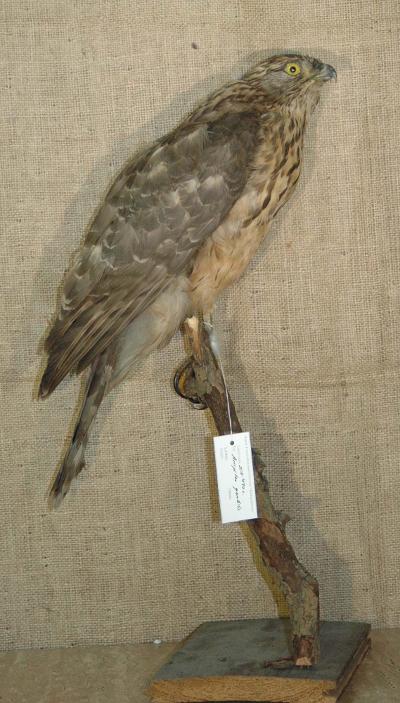 Accipiter gentilis
