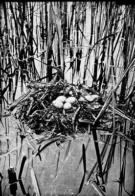Búbos vöcsök fészke tojásokkal.