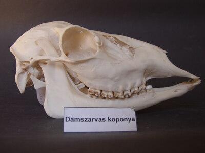 Dámszarvas koponya