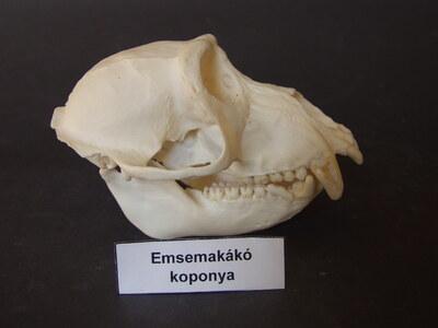 Emsemakákó koponya