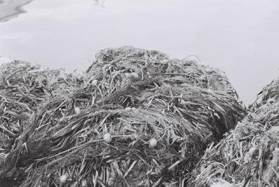 Fonds Henri-Paul Brémondy : Filet de pêche rempli d'algues après un coup de vent ou un coup de mer - Photographie en lien avec le corpus sonore La pêche traditionnelle varoise dans les années 1970