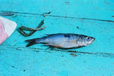 Fonds Henri-Paul Brémondy : Mendole (Spicara maena) - Photographie en lien avec le corpus sonore La pêche traditionnelle varoise dans les années 1970