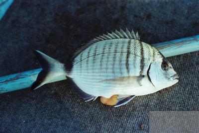 Fonds Henri-Paul Brémondy : Sare commun (Diplodus sargus)- Photographie en lien avec le corpus sonore La pêche traditionnelle varoise dans les années 1970