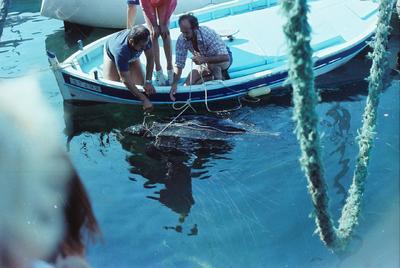 Fonds Henri-Paul Brémondy : Pêcheurs qui capturent un tortue de mer - Photographie en lien avec le corpus sonore La pêche traditionnelle varoise dans les années 1970