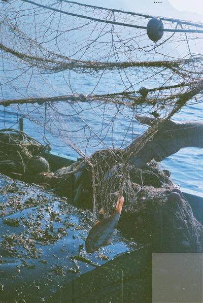 Fonds Henri-Paul Brémondy : Poisson capturé dans un filet - Photographie en lien avec le corpus sonore La pêche traditionnelle varoise dans les années 1970