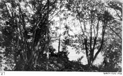 Terängen över norra koret före utgrävningen, från söder, med stora träd växande på norra korets sydmur.