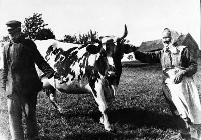 Den gamla kon. Cristina och Samuel Gustavson, Skattegården Lovene. Kon var det käraste de hade. Taget med lådkamera.