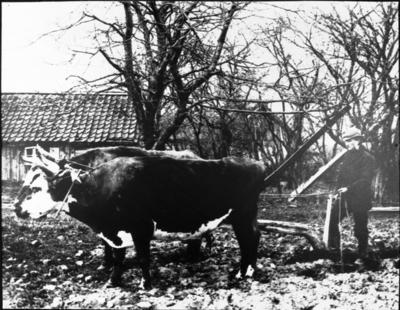 Ox-spann framför årder eller