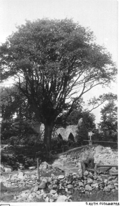 Klosterkyrkans sö. hörn med en stor oxel växande över s. koret från öster. T.h. de översta stenarna å östligaste delen av s. korets nordmur. I förgrunden gärdesgården ö. om vägen förbi kyrkogården.