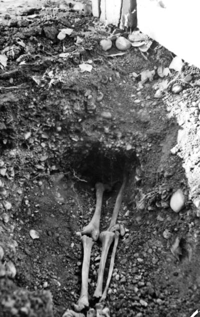 Skelettben från grav V, i gamla stan 1938-39.