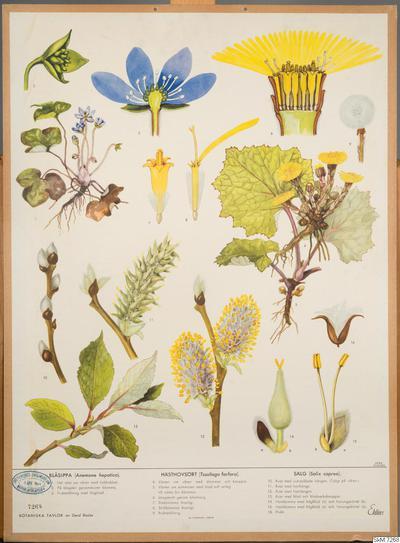 skolplansch, biologi, bilder, school wallchart, wallchart, Blåsippa, Hästhovsört, Sälg, Botaniska tavlor, Botanical wall charts