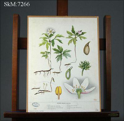 skolplansch, biologi, Botaniska tavlor, Vitsippa