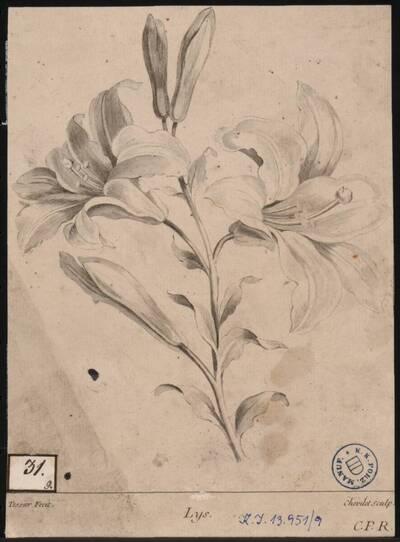 Lys [Lilium / Lilie] (Originaltitel)