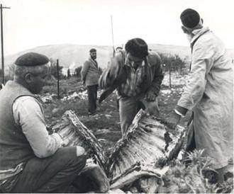 Egorgement d'un veau à Avivim