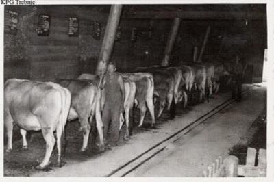 Krave v hlevu