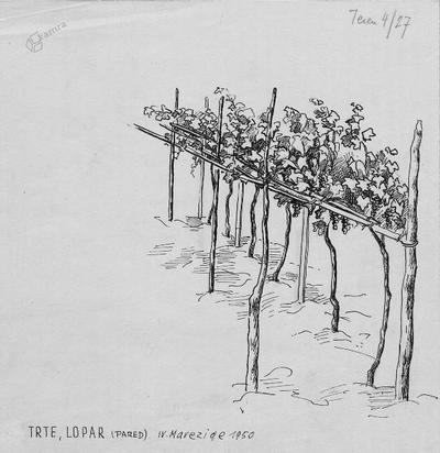 Sajenje trt na Koprskem