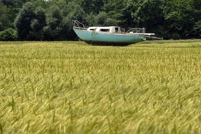 Jadrnica pluje po morju žita