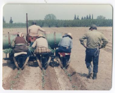 Φυτεύοντας βιομηχανική ντομάτα