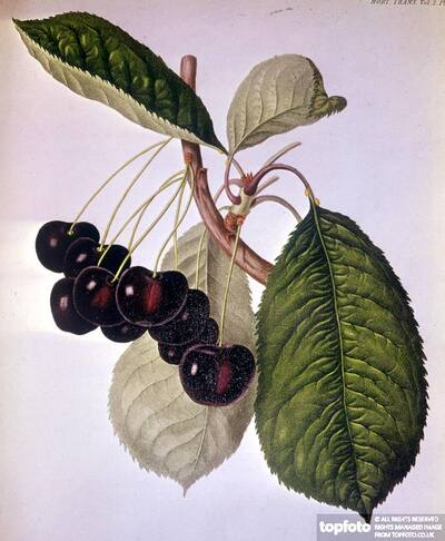 The Waterloo Cherry named after