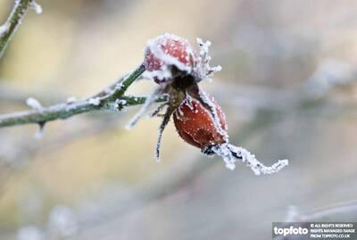 Frozen rosehips in winter garden