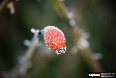 Frozen rosehip in winter garden