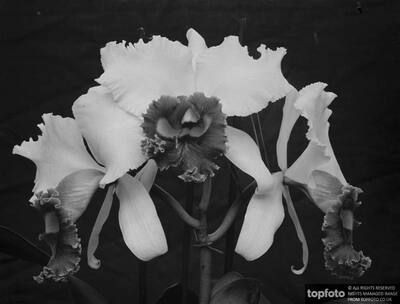 Orchid perfections , shown at