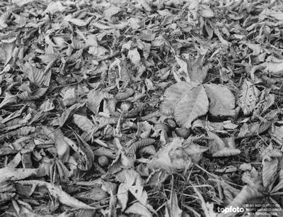 Autumn horse chestnuts and leaves