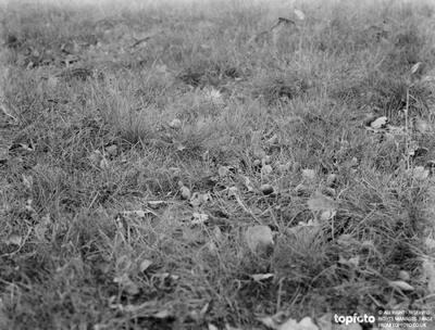 Acorns on the ground in