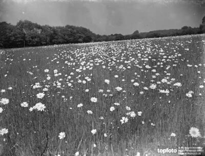 A daisy field in bloom