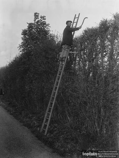 Farmers trim hedges by hand