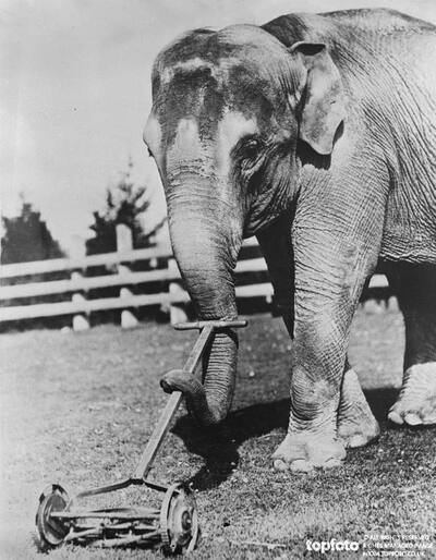 Elephant power for the lawn