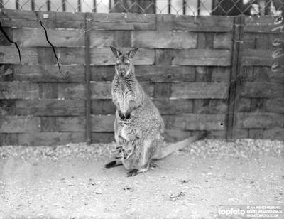 The four months old Wallaby